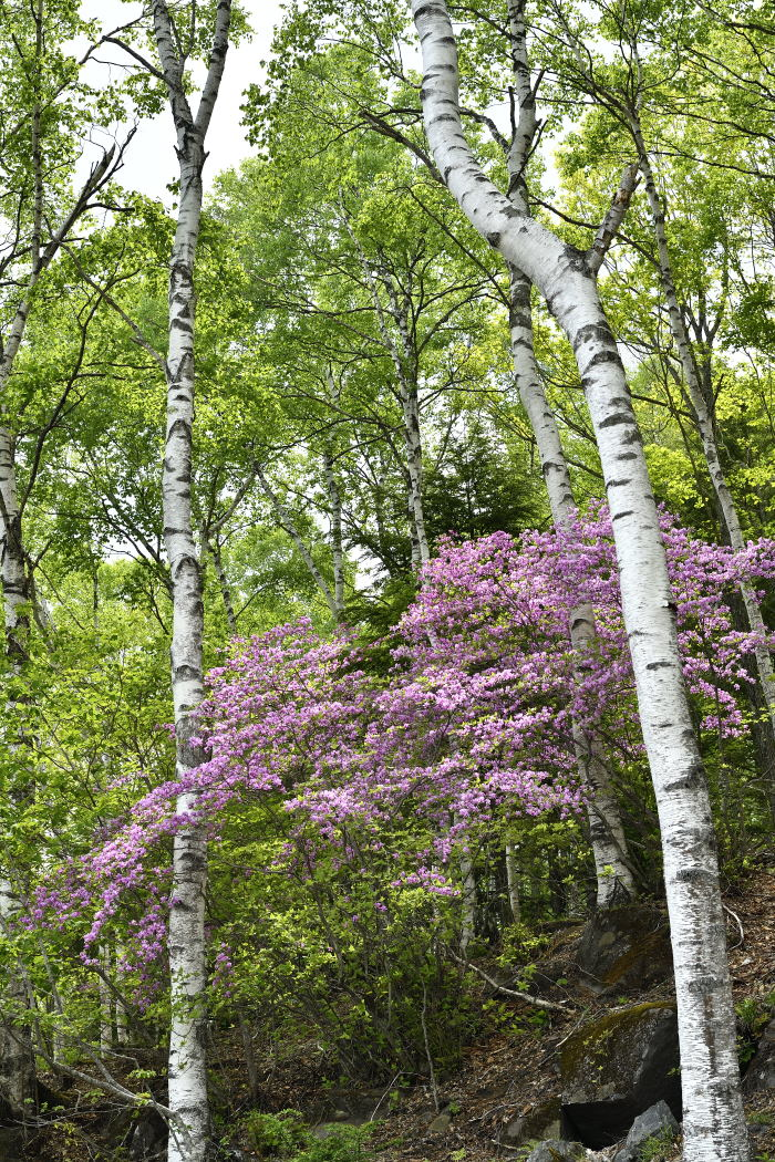 白樺林のミツバツツジ