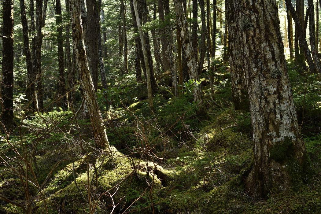 コメツガの森