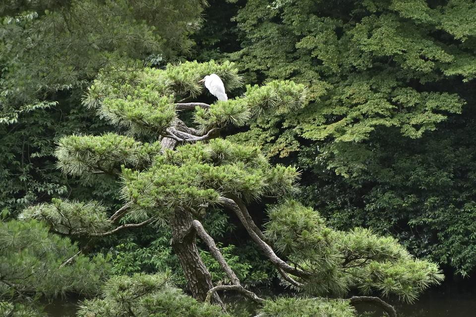 白鷺が一羽