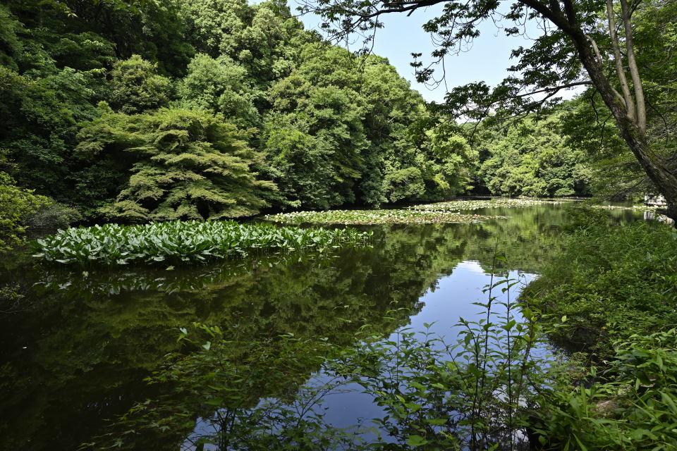 南池・河骨と睡蓮